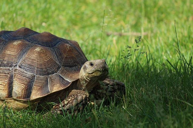 tortoise-1232117_640