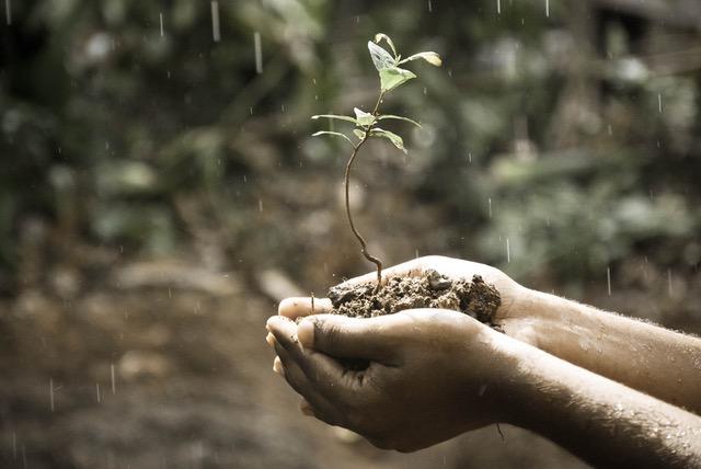rainplant