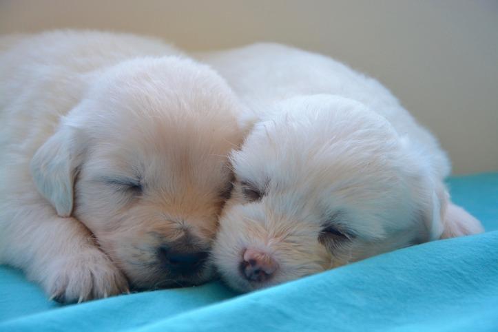puppies-2646019_1920